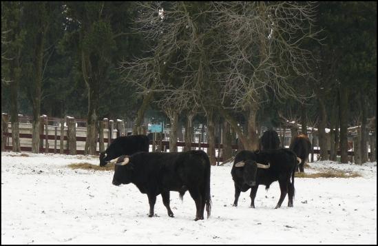Taureaux de Los Derramaderos chez les frères Roumanille. Jour de neige.