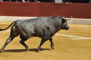 Rastrojero-24, lidié à Vic-fezensac en 2012, vainqueur de la corrida concours. (Crédit : Club Taurin Vicois)