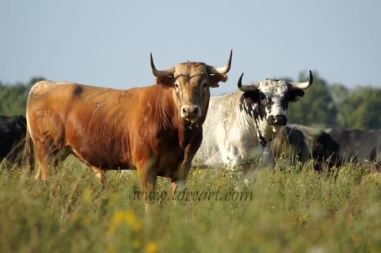 Deux taureaux des Frères Tardieu dont un descendant de Maravilla-34 ?