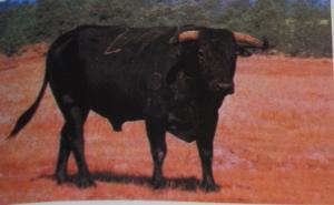 "Le semental Chumazo-41 qui rendit célèbre la ganaderia de Jose Matias Bernardos dit ""El Raboso""."