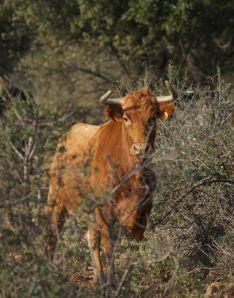 Una vaca de Concha y Sierra, comprada por Jean-Luc Couturier, pastando en Francia