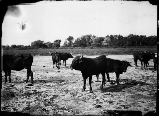 Taureau camarguais couvrant des vaches braves en Camargue. Photographie de Carles Naudot.