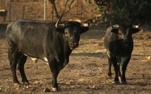 Dos toros bajos, reunidos, armónicos de Rehuelga