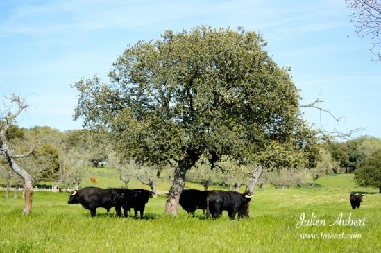 Toros de Sepulveda, disfrutando de la sombra de un árbol en la llanura de la finca
