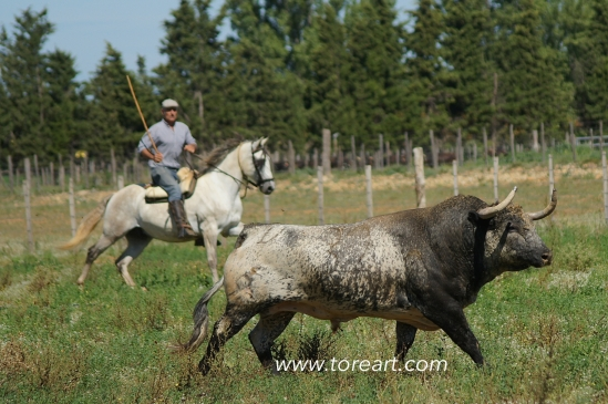 Corredero francés de la ganadería de Concha y Sierra