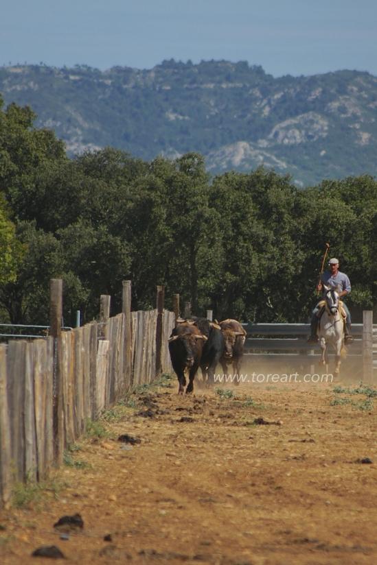 Entrenamiento de los toros de Concha y Sierra en Fontvieille
