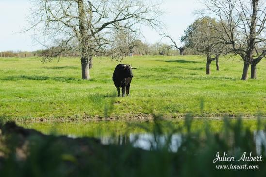 Un ejemplar de la ganadería en los lustrosos campos de Sepulveda