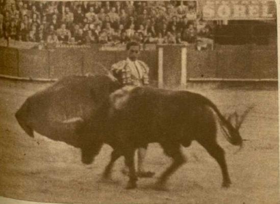 """Paquito Muñoz toreando por """"manoletina"""" al excelente ejemplar de Sepulveda, Bonito-13, otro hijo superior de Presidente. Le corta las dos orejas."""