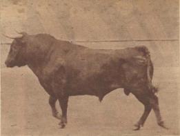 El serio Escultor-157 de Sepulveda con el que Martin Sanchez Pinto se doctoró como matador de toros el 24 de Julio de 1960 en Barcelona. Fotografia El Ruedo.