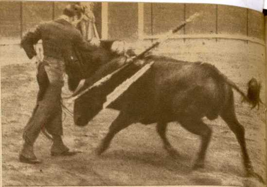 Alvaro Domecq toreando a pie al excelente Aguilucho en Barcelona (1946). Este toro era hijo del semental Presidente.