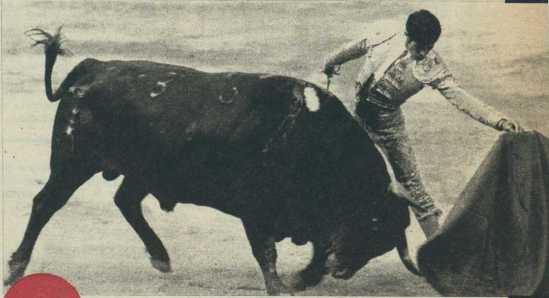Un ejemplar de Sepulveda, el dia del debut de la ganaderia en Las Ventas. Ruiz Miguel lo somete mientras el animal coge humillado y con profundidad los vuelos de la muleta. Fotografia El Ruedo.