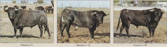 Cotorro, Remolon y Galonero, tres sementales fundamentales en la ganaderia de Bucaré. Fotografias de Arjona, publicadas en la revista 6Toros6