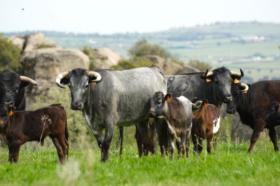 Vacas de Flor de Jara, amparando a sus crias.