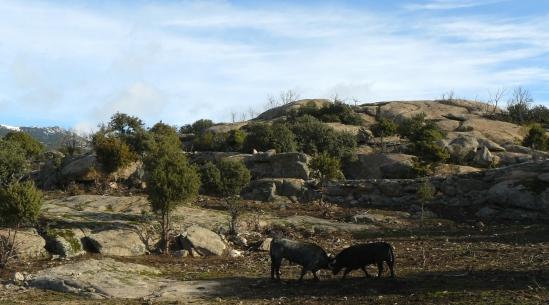 Vista del cercado de machos del Canto de los Palancares. Dos utreros se miden.
